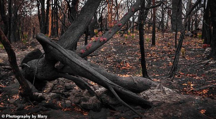 23140072 7863795 image a 17 1578474648497 - As florestas da Austrália se recusam a morrer e a vida faz o seu caminho através das cinzas