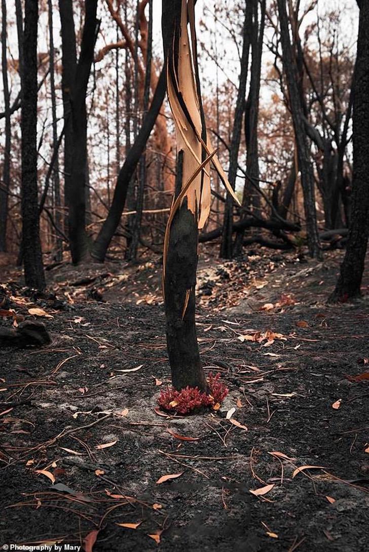 23140080 7863795 image a 15 1578474617506 - As florestas da Austrália se recusam a morrer e a vida faz o seu caminho através das cinzas