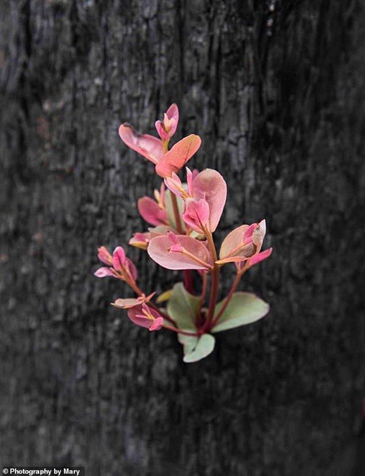 23140096 7863795 The images of the vegetation regrowth were captured on an outing m 19 1578474662026 - As florestas da Austrália se recusam a morrer e a vida faz o seu caminho através das cinzas
