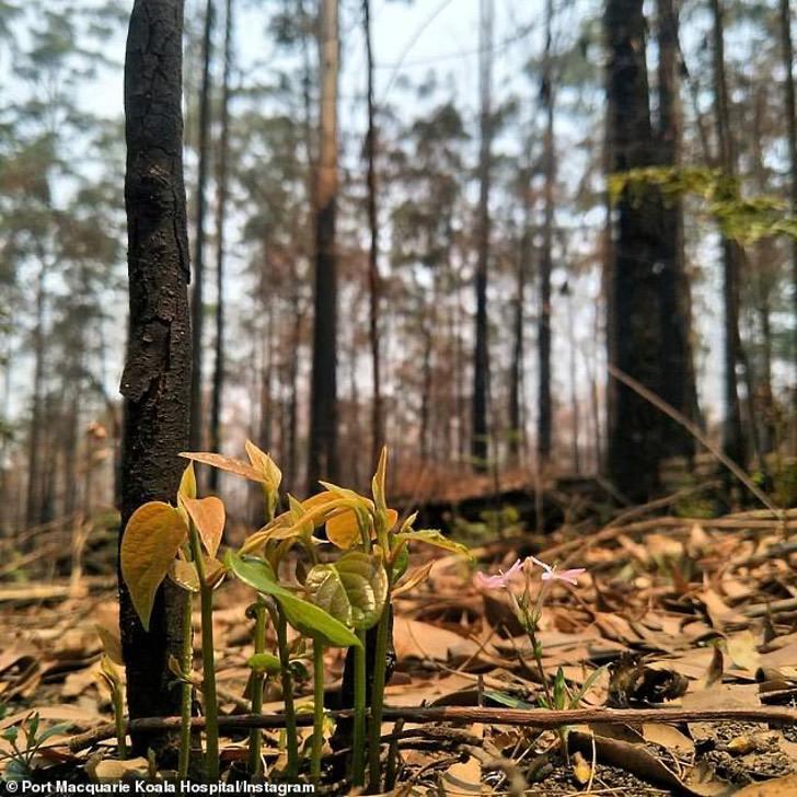 23140738 7863795 image a 34 1578475484886 - As florestas da Austrália se recusam a morrer e a vida faz o seu caminho através das cinzas